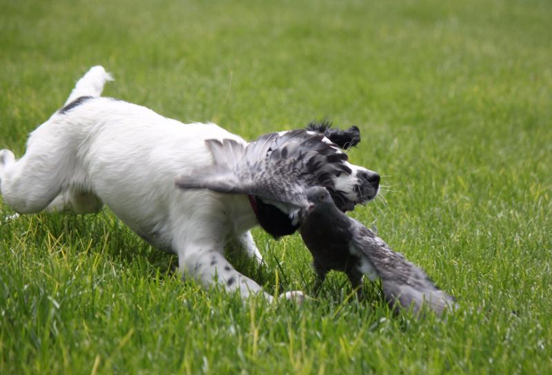 field bred English Springer Spaniels, hellfire gun dogs, montana springer spaniels