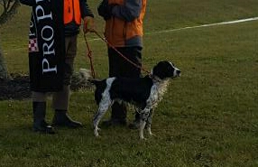 Hellfire Kennels, Hellfire Gundogs, Hellfire Field bred English Springer Spaniels,