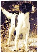 Hellfire Gundogs, Hellfire Field Bred Springer Saniels, Montana Springer Spaniels, Montana field bred springers