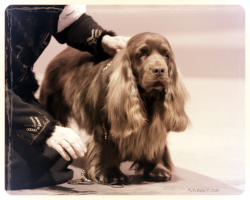 Sussex Spaniels, Hellfire Sussex Spaniels, Sussex Spaniel Breeder of Merit, Sussex Spaniel Puppies