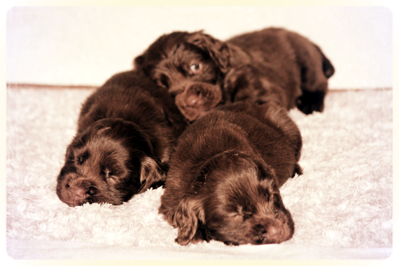 Hellfire Sussex Spaniels, Sussex Spaniel puppies