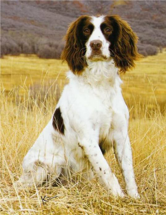 Hellfire English Springer and Sussex Spaniels: Springer