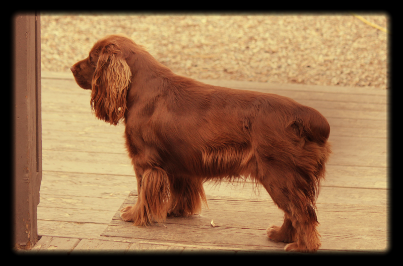 Hellfire Sussex Spaniels