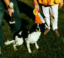 Hellfire Field bred English Springer Spaniels, Hellfire Gundogs, Hellfire Kennels, Hellfire Springer Spaniels