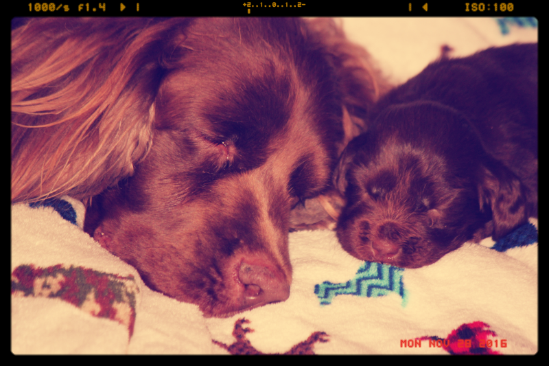 Hellfire Sussex Spaniels, Sussex Spaniel Breeder, Sussex Spaniel Puppies, AKC Breeder of Merit