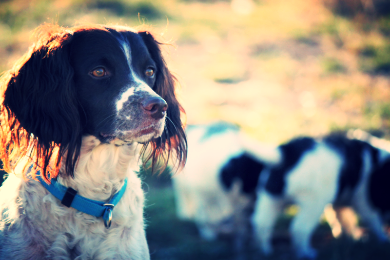 Hellfire English Springer and Sussex Spaniels: Sussex