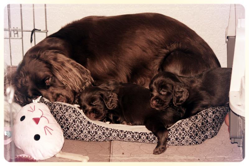 Hellfire Sussex Spaniels, Sussex Spaniels, Sussex Spaniel Puppies