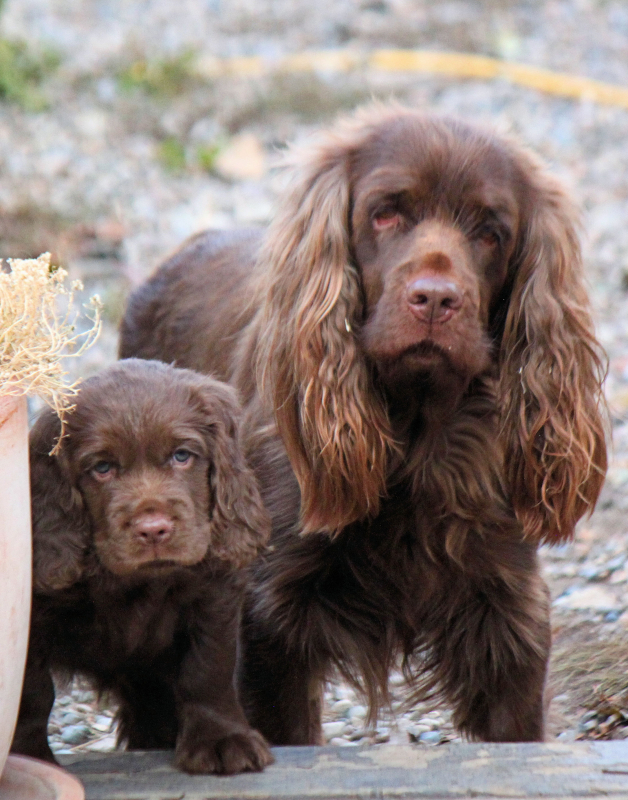 Hellfire English Springer and Sussex Spaniels: Sussex Spaniel