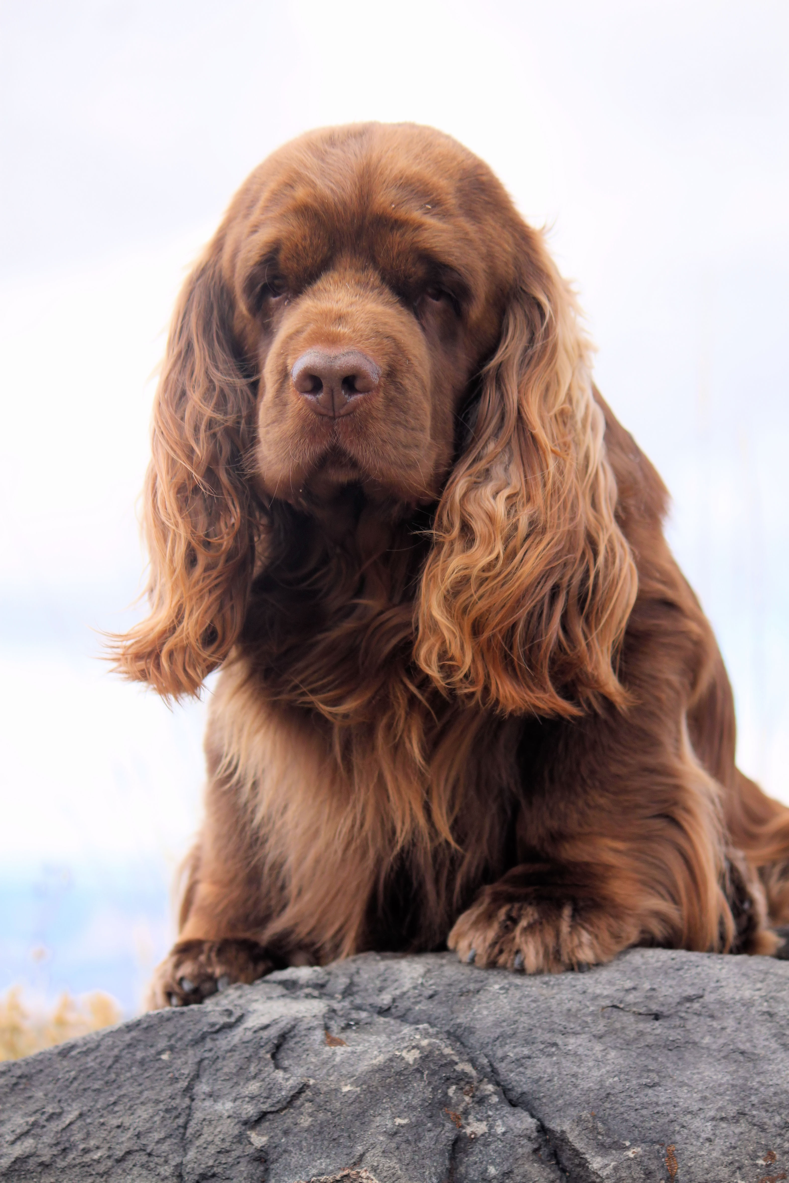 Hellfire English Springer And Sussex Spaniels Sussex Spaniel