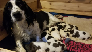 field bred english springer spaniel puppies