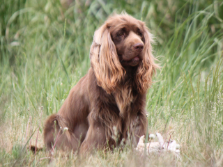 Hellfire English Springer and Sussex Spaniels: Montana Sussex Spaniels