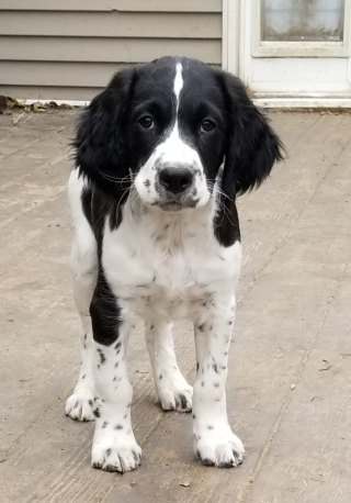 Field bred english springer puppy for sale?
