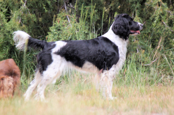 Hellfire Springer Spaniels, field bred english springer spaniels, fiels springer spaniel