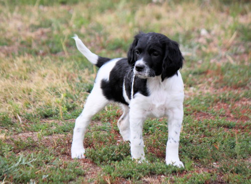 Hellfire field springer puppies