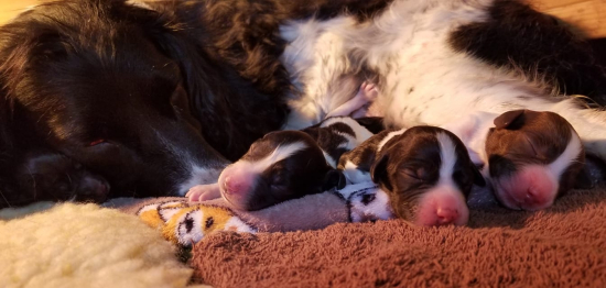 Hellfire English Springer and Sussex Spaniels: Field