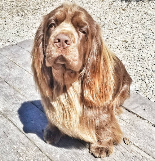 Sussex Spaniel, Sussex Spaniel Breeder, Sussex Spaniel Puppies, Sussex Spaniel Breeder in Montana