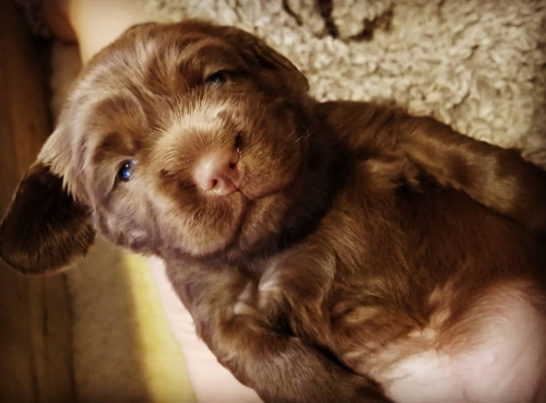 Hellfire Sussex Spaniel Puppy 2020s