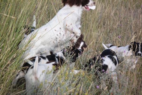 field bred english springer spaniel, field springer breeder, field springer puppies, hellfire gun dogs, hellfire springers, working springer spaniel
