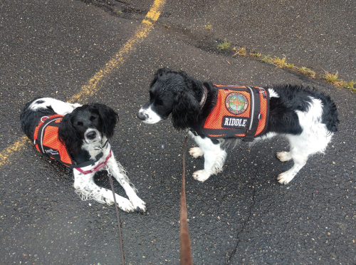 search and rescue dogs, hellfire springer, hellfire gun dogs, working springers, springer spaniels in montana